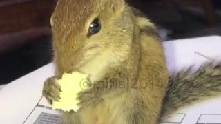 Squirrel eating popcorn - Video