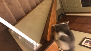 Grey and white cat slides down wooden banister - Video