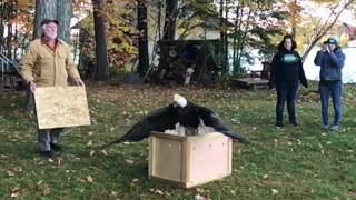 Majestic Bald Eagle gets returned back to nature
