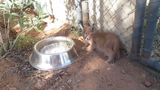 Hanging out with baby caracals