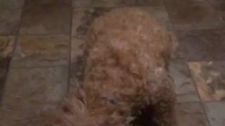 Fluffy tan dog misses food thrown at her in kitchen  - Video