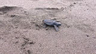 Sea Turtle Hatchling On the Way to the Pacific Ocean - Video