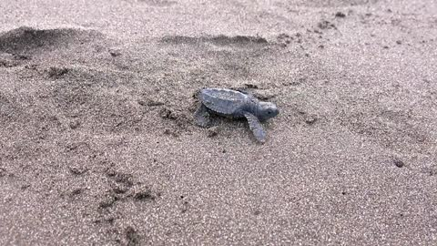 Sea Turtle Hatchling On the Way to the Pacific Ocean