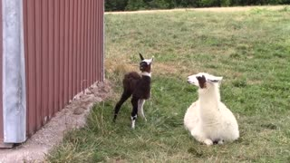 Baby Alpaca From Birth to First Steps
