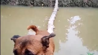 Canine Crosses Bridge with Perfect Balance