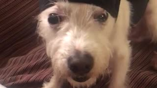 White dog with black beanie with fur pulled back stays completely still - Video