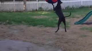 Giant dog playing with giant soccer ball  - Video