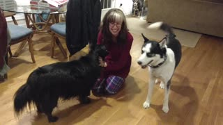 Jealous husky doesn't like sharing affection - Video