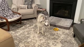 Stubborn Husky steals Shepherd's bone and refuses to let go
