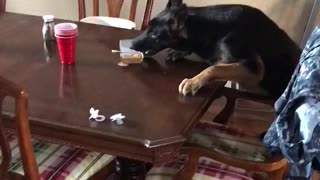 German Shepherd Takes the Plate  - Video