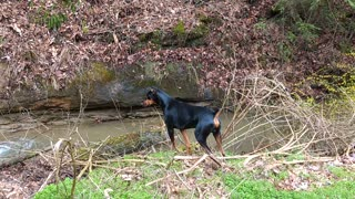 Doberman In Hot Pursuit  - Video