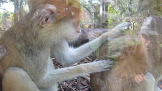 This monkey cleaning his partner with very human moves  - Video