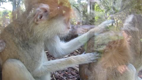 This monkey cleaning his partner with very human moves