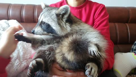Raccoon cried after eating an apple because it was delicious, but he refuses to wipe it off.