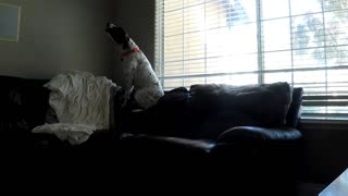 Dog sitting on couch howls at phone ringing - Video