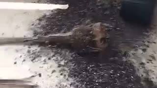 Dog leaves dirt and plant all over room - Video