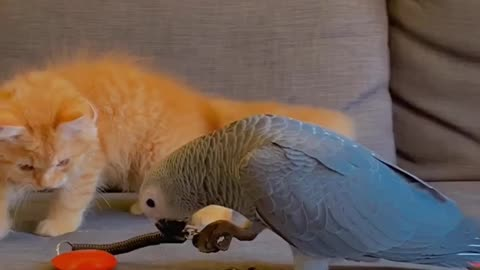 Kitten and parrot youngster share a very special bond