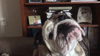 Bulldog can't wait to hear the magic words - Video