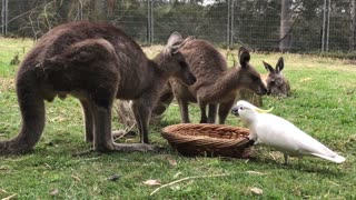 Cockatoo Steals Kangaroos Food
