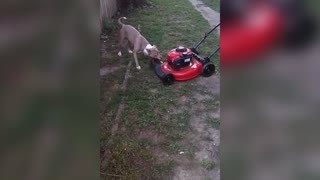 Dog Hates Lawn mower Tries To Destroy It - Video