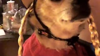 Chihuahua in pig tails costume