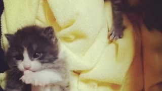 Small Kitten Licking herself - Video