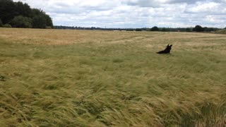 Dog beyond excited to be running through wheat field - Video
