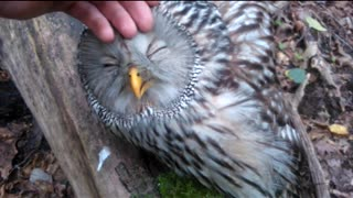 Wild Owl Loves Being Petted And Keeps Eyes Closed In Enjoyment  - Video