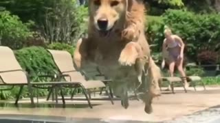 meet my lovely dog jumbing in pool so crazy and funny