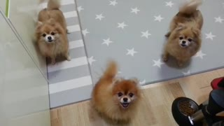 Energetic Pomeranians Can't Stop Wagging Their Tails With Excitement - Video