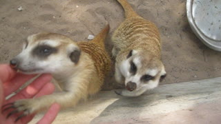 Surprisingly friendly meerkats beg for attention - Video