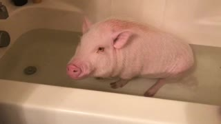 This Adorable Mini Pig Loves Soaking In The Bathtub - Video