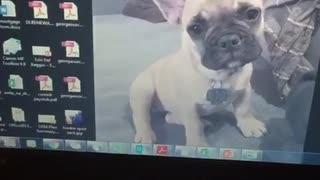 Puppy as computer wallpaper and dog standing behind laptop - Video