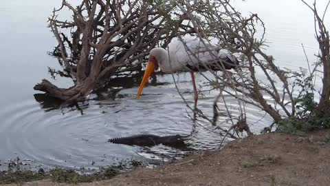 Fearless baby crocodile stalks and scares unsuspecting stork