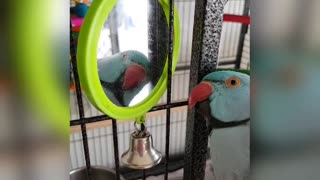 Playful parrot really loves his mirror