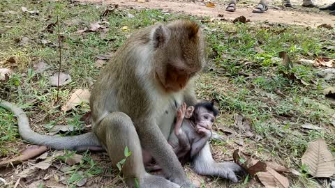 Breaking Heart ! Pity On Baby Monkey Cos Mum Not Breast Her, Baby Hungry #1