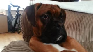 Boxer chills in armchair like a boss