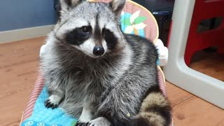 Pet raccoon chomps down on crunchy cabbage