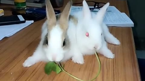 Cute bunnies kissing each other while eating