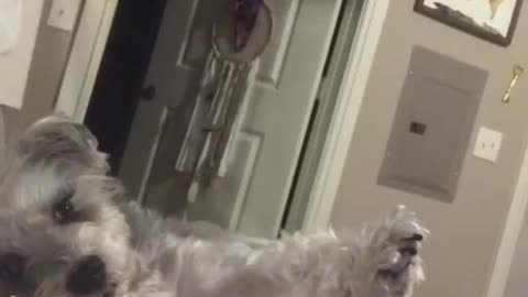 Funny dog successfully annoys owner with classic game