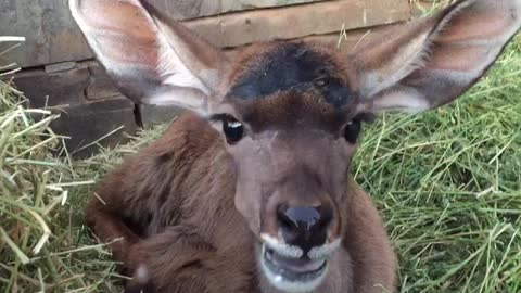 Baby Kudu eats some hey