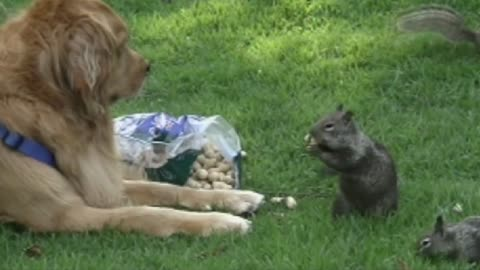 Dog Completely Ignores Squirrels Boldly Eating Nuts In Front Of Him