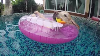 Golden Retriever chills on tube in pool
