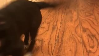 Slowmo black and white puppies run down wooden hallway - Video