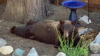 Teenage Bear All Stretched Out Having a Snack