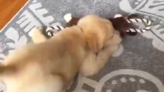 Golden retriever runs into room and falls