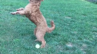 Slow motion curly haired dog fails to catch tennis ball on grass