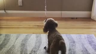 Brown dog plays with birthday balloon - Video