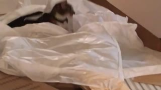 Grey cat on floor playing with plastic bags  - Video