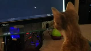 Kitten totally hypnotized by mouse pointer